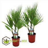 Plant in a Box - Set van 2 Washingtonia Robusta - Mexicaanse Waaierpalm - Pot ⌀15 cm -Hoogte ↕ 50-60cm