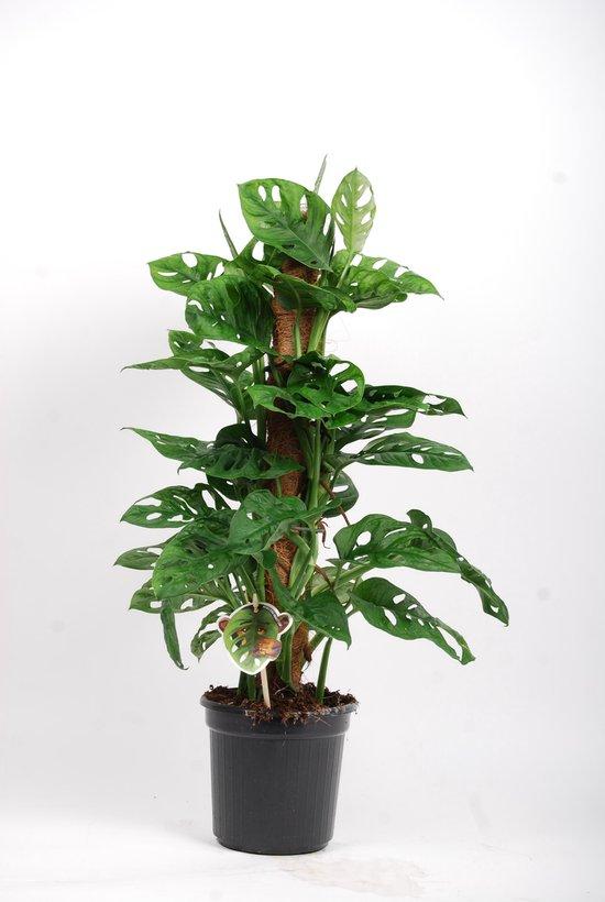 Trendy kamerplant - Monstera monkey leaf mosstok Ø17