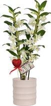 Orchidee van Botanicly – Cadeau! Witte Bamboo Orchid ® in keramiek pot 'Také ' met glitter hartje als set – Hoogte: 55 cm, 2 takken, witte bloemen – Dendrobium nobile Apollon