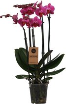 Orchidee | Phalaenopsis 5 tak Paars
