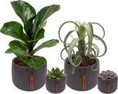 Set van 6 planten met bijpassende grijze plantenpotten – kamerplanten voor binnen met verschillende groottes - Kodi