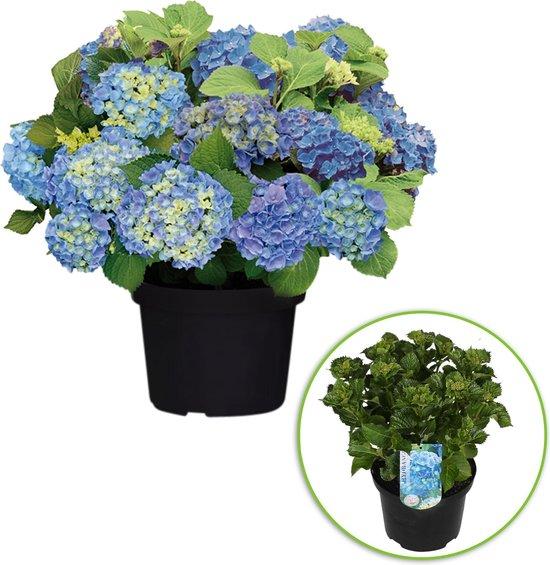 Hydrangea Magical 'Coral Blue' - Hortensia blauw - ↑ 25-35cm - Ø 23cm