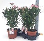 Oleander struik Zacht Roze 19cm pot Ca. 60cm hoog