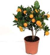 Citrus Calamondin Mandarijn 50cm hoog potmaat ∅14