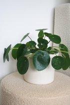 Pannenkoekenplant - Pilea Peperomioides - groen - ø 12cm - 20cm hoog - Planten voor in huis
