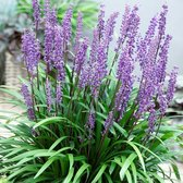 100 x Liriope muscari 'Big Blue' - Leliegras in 9x9cm pot (stukprijs €3,00)