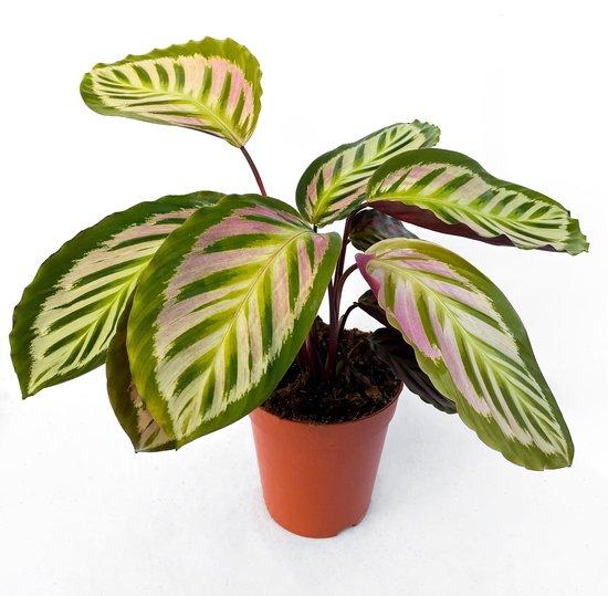 Calathea Picturata 'Argentea' ⌀ 15cm - ↕ 40cm (Trendy, Urbanjungle, Kamerplant)