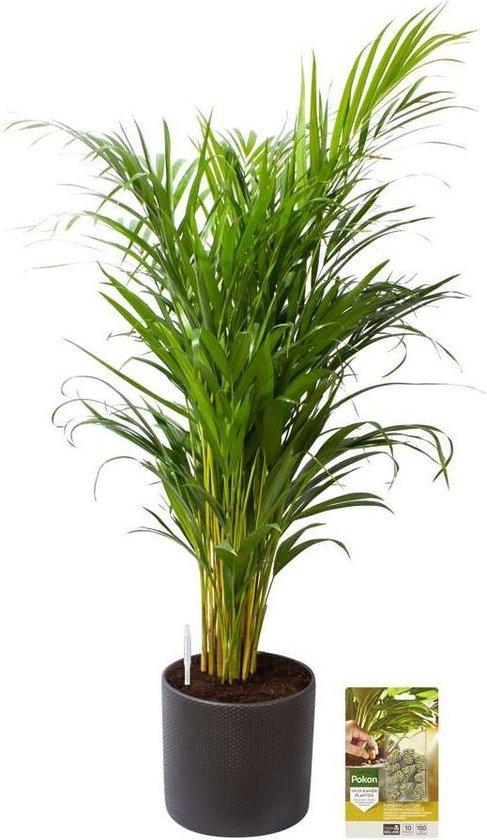 Pokon® Goudpalm / Areca Palm incl. watermeter en voeding - in Mica Era Pot Donker Grijs - hoogte 100 cm