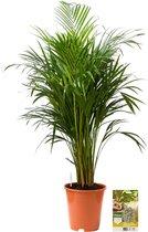Pokon Powerplanten Areca Palm 125 cm ↕ - Kamerplanten - Planten voor Binnen - Goudpalm - met Plantenvoeding / Vochtmeter