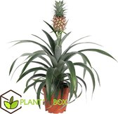 Plant in a Box - Ananasplant Mi Amigo- kamerplant - Pot ⌀12cm - Hoogte ↕ 35-45cm
