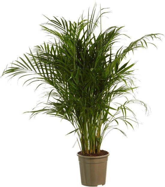 Goudspalm – Hoogte: 125 cm – Dypsis lutescens