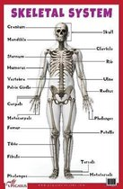 Skeletal System Educational Chart