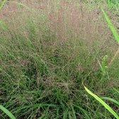 6x Eragrostis spectabilis - Liefdesgras - Pot 9x9 cm - Groen
