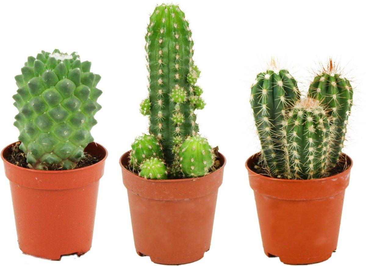 Mini Cactussen Mix   3 Stuks -   5,5 cm -   Hoogte: 5-10 cm   Cactus   Kamerplant   Cactus Cadeau -