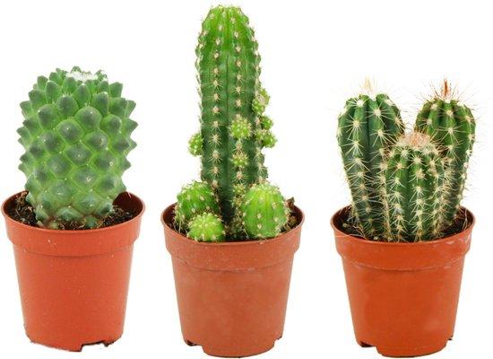 Mini Cactussen Mix – 3 Stuks - Ø 5,5 cm - ↕ Hoogte: 5-10 cm – Cactus – Kamerplant – Cactus Cadeau
