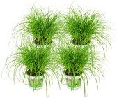 ZynesFlora   Cyperus – Kattengras - 4 Stuks - Ø 12 cm - ↕ Hoogte: 25-30 cm – Kamerplant