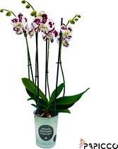 Papicco FESTIVAL Fun - Orchidee - 4-tak - Phalaenopsis - Spikkel