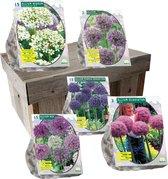 Allium special in geschenk doos | 50 grote alliums  | Bloembollen | Blumenzwiebeln | Flowerbulbs| Cadeau | Bloemen