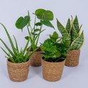 4 Kamerplanten - Aloe Vera, Monstera, Sansevieria & Koffieplant - met mand geleverd