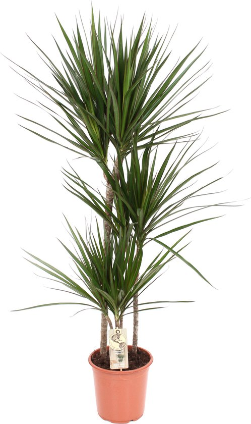 Kwekerij Akker plant - Dracaena Marginata in mand 120cm hoog - 21cm potmaat - Grote kamerplant - In rieten mand