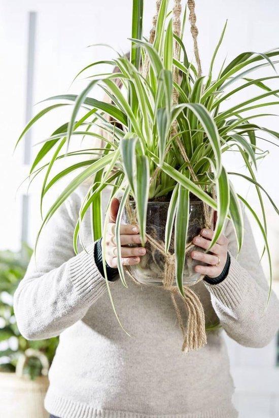 Botanicly 4x Graslelie 20cm hoog