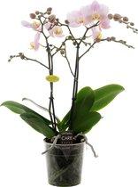 Opti-Multi Roze Orchidee Cadeau