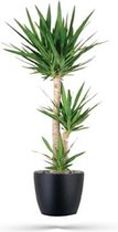 Kamerplant - Yucca - ↑ 135cm