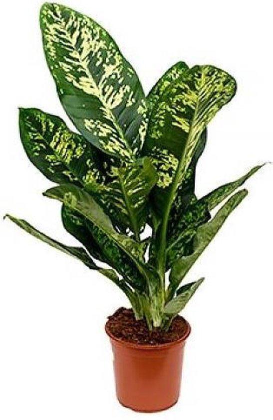 Kamerplant - Dieffenbachia - ↑ 90cm