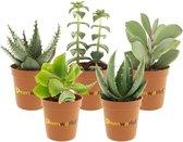 Desertworld Mini Succulenten in terracotta potjes - 5 stuks - Ø 6 cm ↕️ 8-15 cm