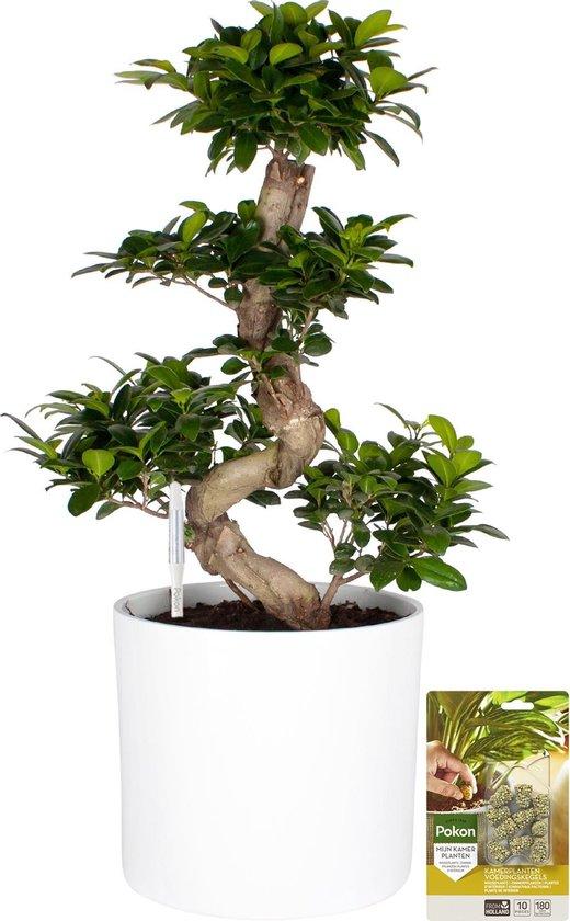 Pokon® Ficus Bonsai / Chinese Vijg incl. watermeter en voeding - in Mica Era Pot Wit - hoogte 70 cm
