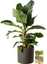 Pokon® Bananenplant incl. watermeter en voeding - in Mica Era Pot Donker Grijs - hoogte ↕80cm