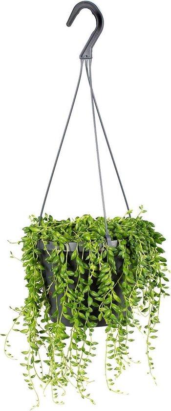 Senecio 'Rowleyanus' | Kruiskruid in hangpot per stuk - Kamerplant ⌀17 cm - ↕20 cm