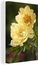 Twee gele pioenrozen Canvas 120x180 cm - Foto print op Canvas schilderij (Wanddecoratie woonkamer / slaapkamer) / Bloemen Canvas Schilderijen XXL / Groot formaat!