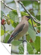 Een cederpestvogels is neergestreken in een moerbeiboom tuinposter 30x40 cm - klein - Tuindoek / Buitencanvas / Schilderijen voor buiten (tuin decoratie)