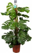 Monstera Pertusum - gatenplant, 120 CM hoog, 24 CM potdiameter