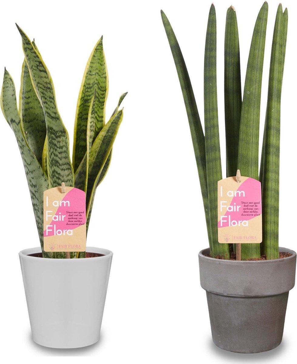 Duurzaam geproduceerde Kamerplant van FAIR FLORA® - 2 x Vrouwentongen in de witte keramiek sierpot - Hoogte: ca. 40 cm - Latijnse naam: Sansevieria trif. Laurentii