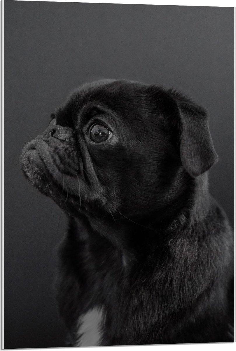 Plexiglas - Zwarte Mopshond met Zwarte Achtergrond - 60x90cm Foto op Plexiglas (Wanddecoratie op Plexiglas)