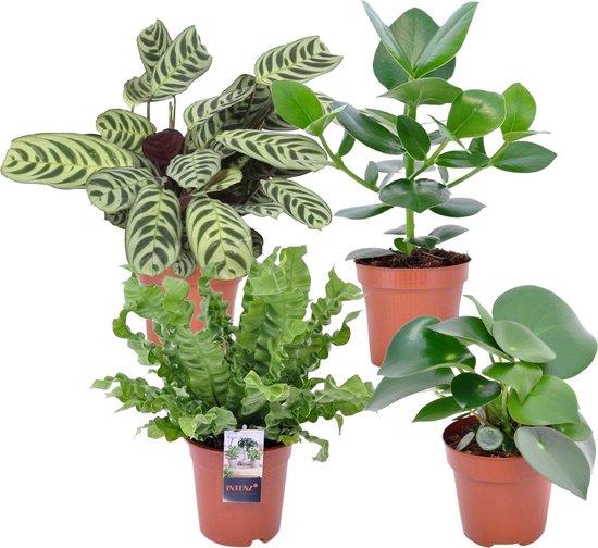 Mix van 4 groene kamerplanten | Clusia - Peperomia - Ctenanthe- Asplenium | ↑ 25-30cm - Ø 12cm