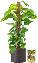 Pokon® Scindapsus Epipremnum incl. watermeter en voeding - in Mica Era Pot Donker Grijs - hoogte ↕80 cm