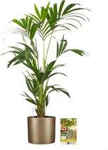 Pokon® Kentia Palm incl. watermeter en voeding - in Mica Era Pot Goud - hoogte ↕90 cm