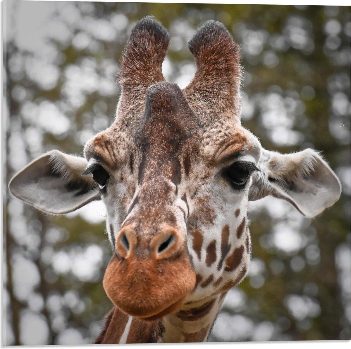 Plexiglas - Hoofd van Giraffe  - 50x50cm Foto op Plexiglas (Met Ophangsysteem)