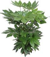 Bol Com Fatsia Japonica Vingerplant 85 95cm O 24cm