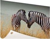 Zebras  Tuinposter 60x40 cm - klein - Tuindoek / Buitencanvas / Schilderijen voor buiten (tuin decoratie)