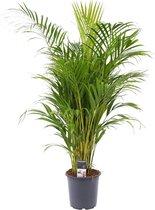 ZynesFlora.nl | Dypsis Lutescens - Areca Palm - Kamerplant - Ø 21 cm - ↕ Hoogte: 55-60 cm – Luchtzuiverend – Goudpalm – Goudvruchtpalm – Arekapalm - Palm