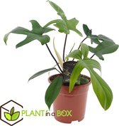 Plant in a Box - Philodendron Florida Green - Kamerplant - Pot ⌀17cm - Hoogte ↕ 40-50cm