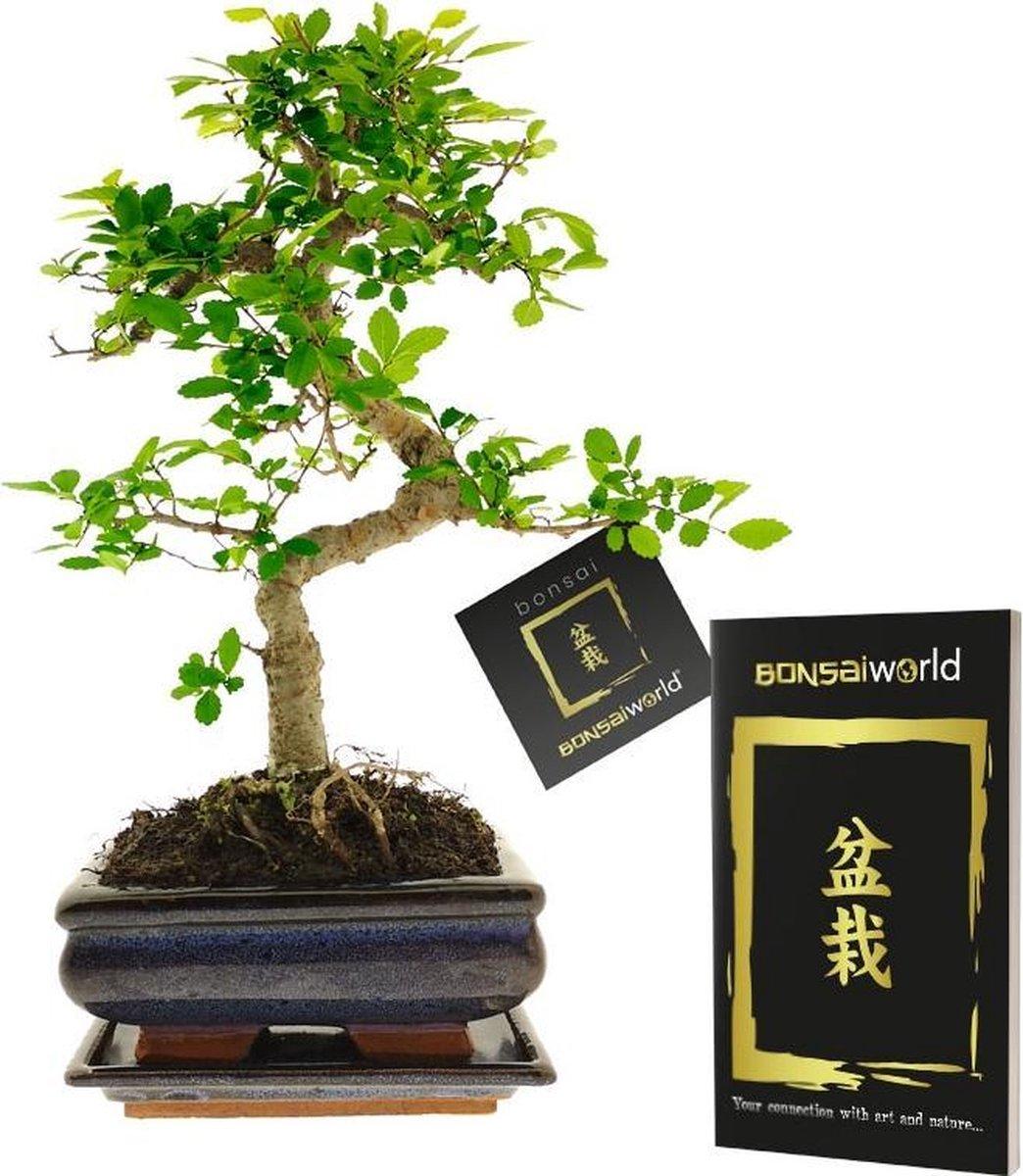 Bonsaiworld Bonsai Boompje S vormig - 8 jaar oud - Hoogte 25-30 cm+ Bonsai Boekje