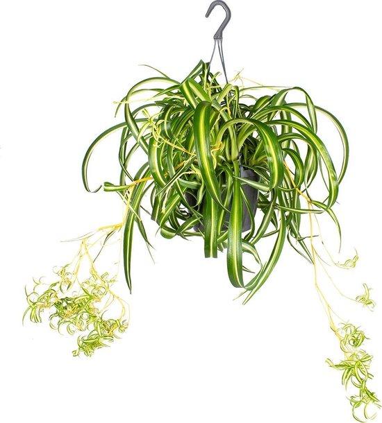 Graslelie in hangpot | Chlorophytum 'Green Bonnie' per stuk - Kamerplant ⌀17 cm - ↕20 cm