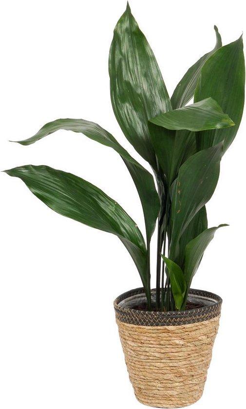 Kamerplant Aspidistra – Kwartjesplant - ± 80cm hoog – 19cm diameter - in siermand met zwarte rand