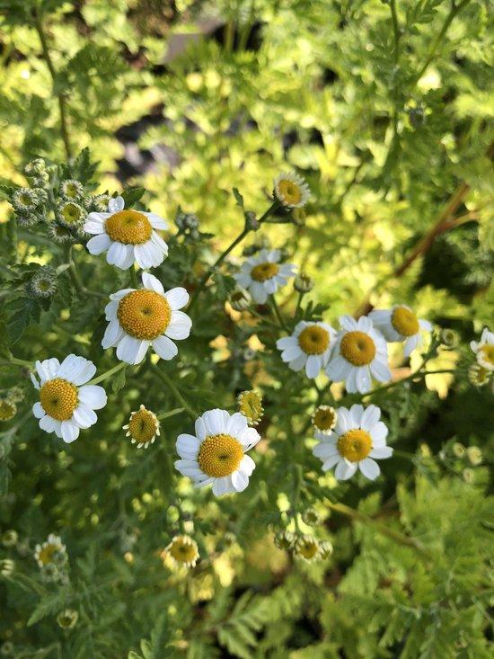 6 x Tanacetum parthenium - Moederkruid, Boerenwormkruid - P9 Pot (9 x 9cm) - Dima Vaste Planten