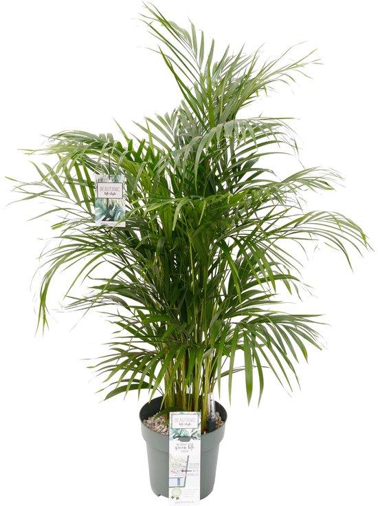 Grote Arecapalm kamerplant (Goudpalm) 150cm hoog met watermeter Ø27cm